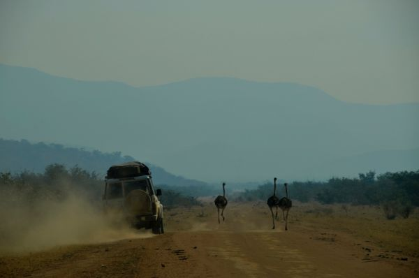 A rear view image of a four wheel drive car driving through a desert road in Namibia, alongside two ostriches